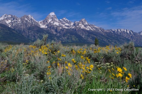 photograph of the peaks of the Grand Teton mountains with wildflowers in the foreground