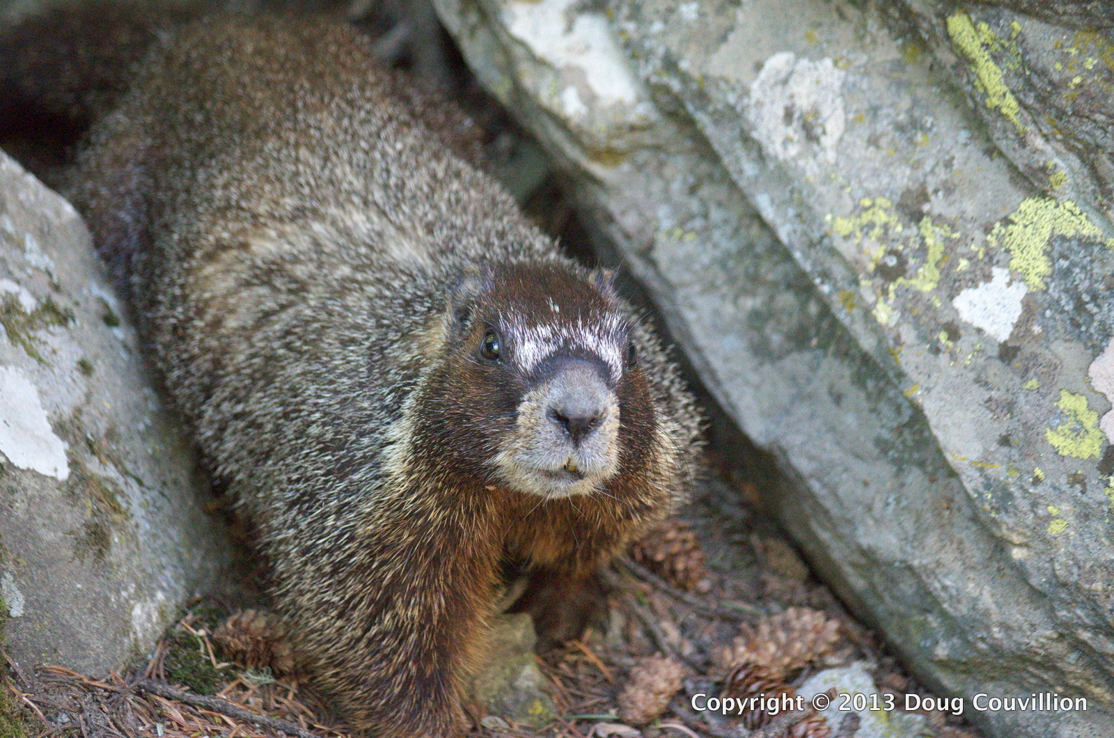 photograph of a yellow-bellied marmot
