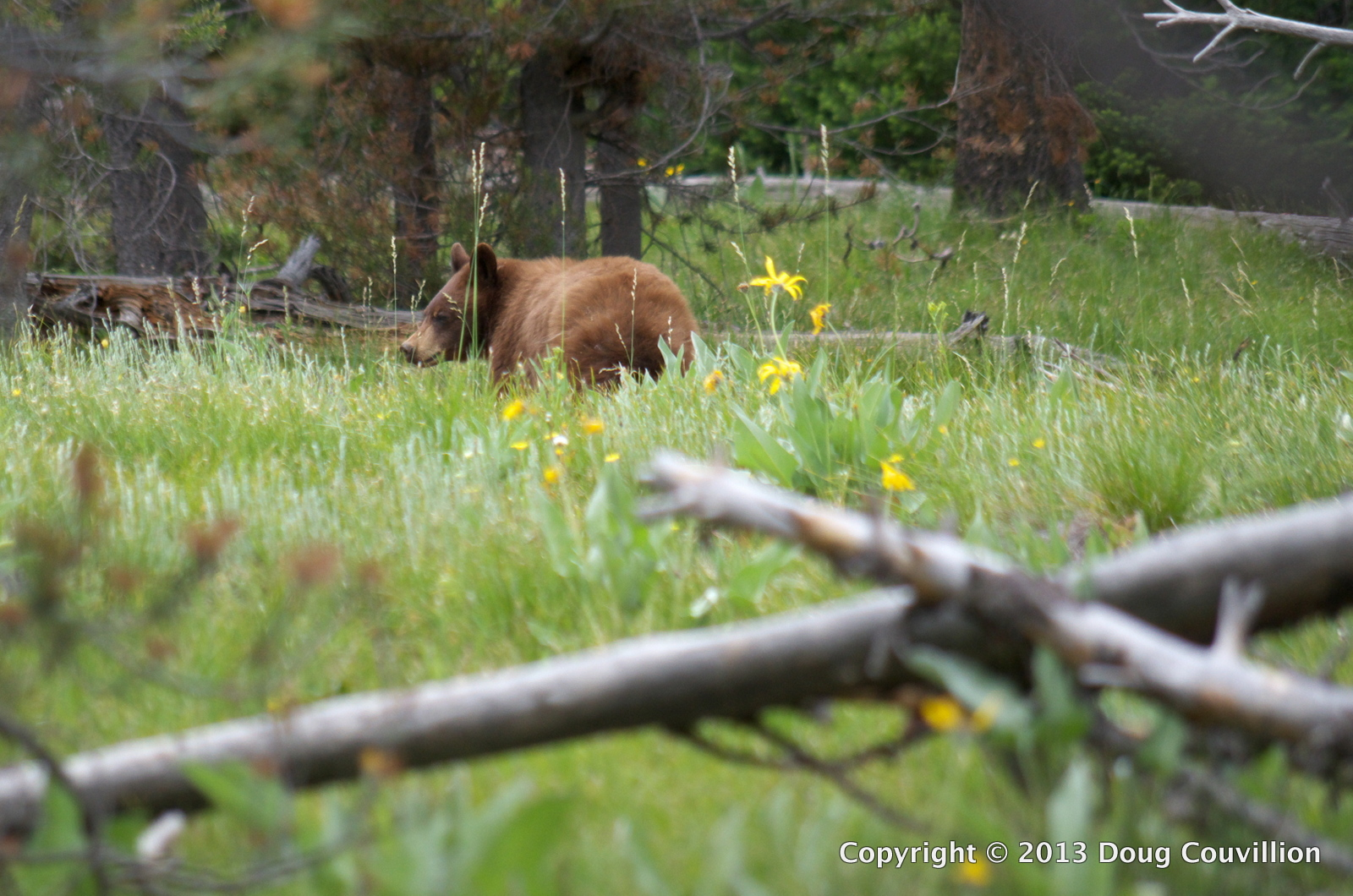 photograph of a black bear in a meadow
