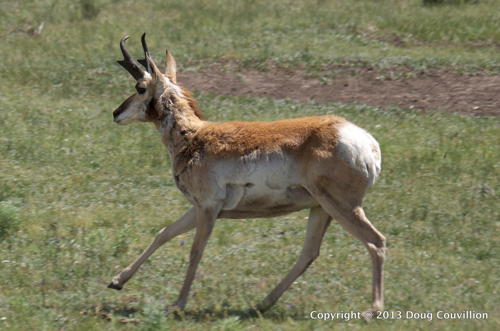 photograph of a pronghorn sheep running