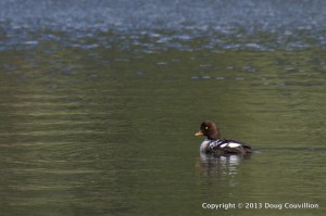 photograph of a Barrow's Goldeneye duck swimming on Trout Lake in Yellowstone National Park