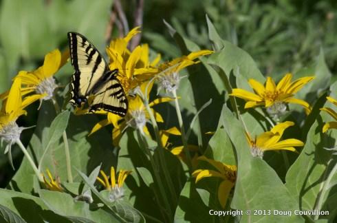 photograph of a zebra swallowtail butterfly feeding on arrowleaf balsamroot nectar