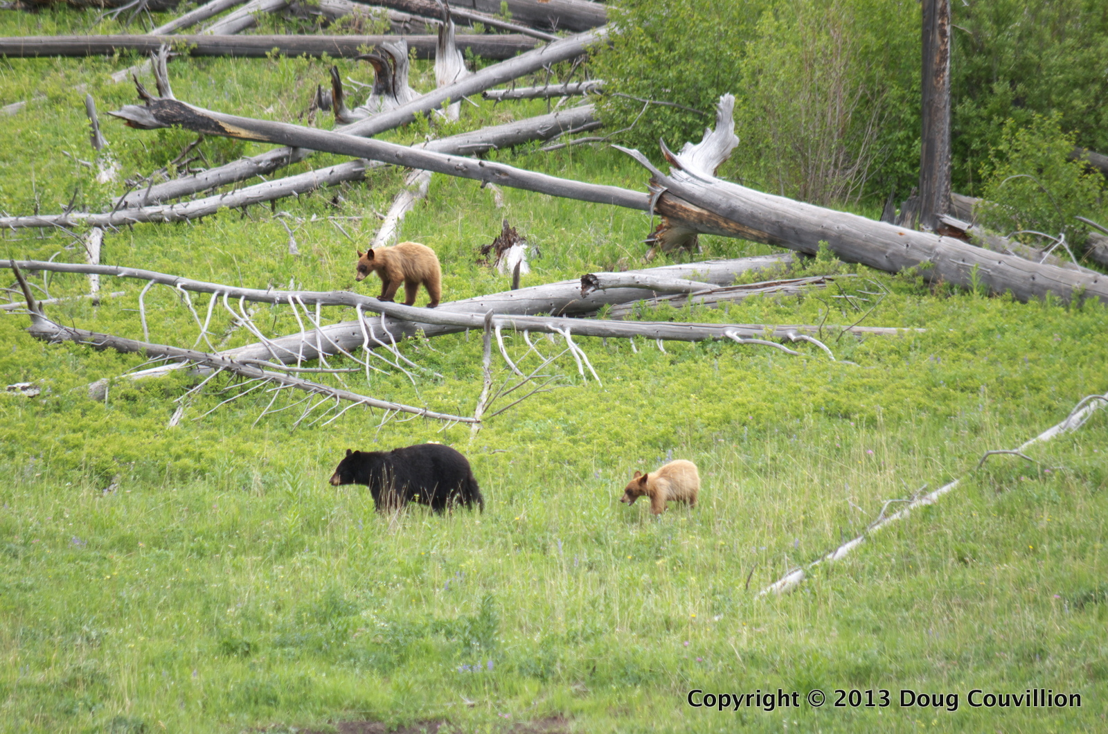 photograph of a black bear with two cubs in Yellowstone National Park