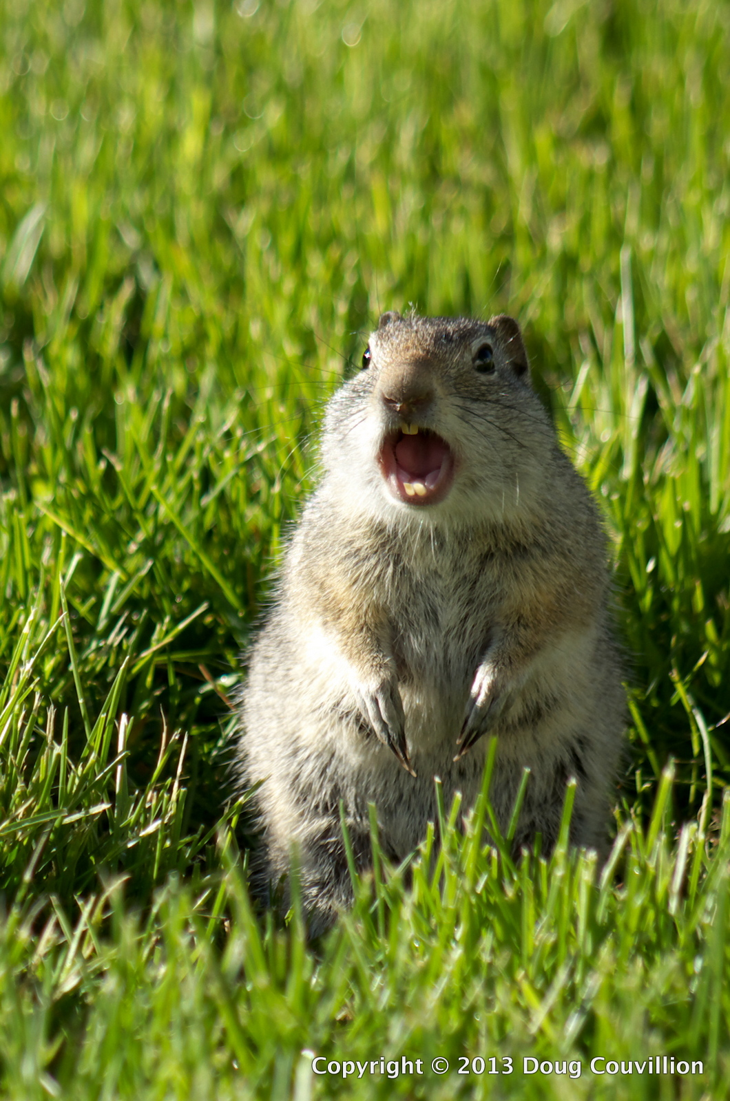 photograph of a ground squirrel barking in anger in Yellowstone National Park