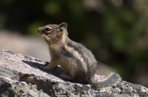photograph of a chipmunk sitting on a rock in Yellowstone National Park