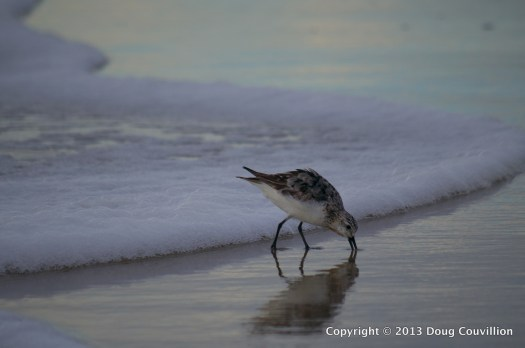 photograph of a Sanderling eating on the beach at Corolla, North Carolina
