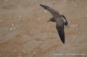 photograph of a juvenile Herring Gull in flight