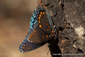 photograph of a White Admiral butterfly on pine bark