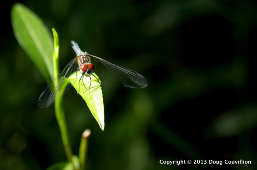 photograph of a dragonfly with red eyes on a bright green leaf with a dark background