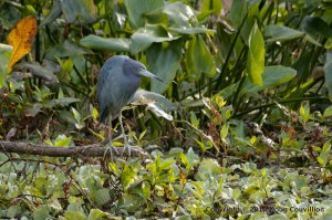 photograph of a Little Blue Heron watching over a swamp