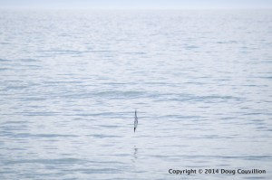 photograph of a Forster's Tern diving into the water
