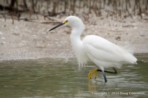 photograph of a Snowy Egret walking through shallow water