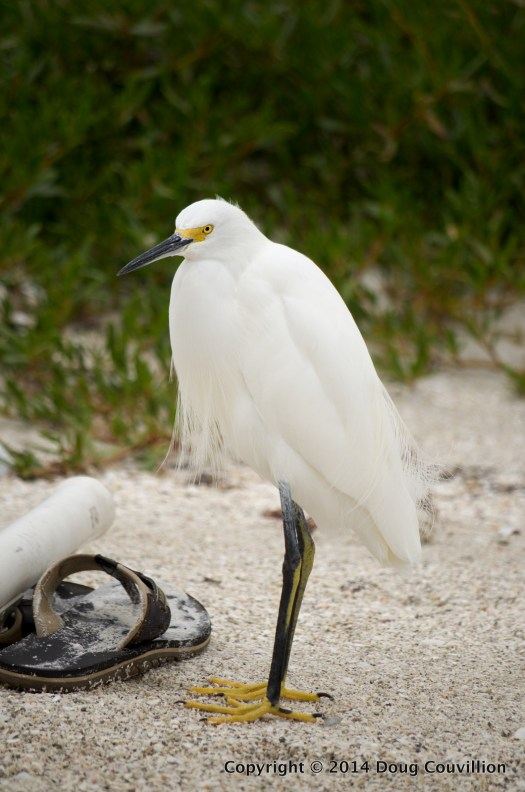 photograph of a Snowy Egret standing next to a flip flop sandal on a sandy beach with vegetation behind it
