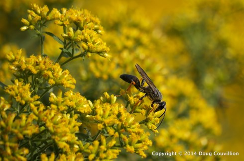 photograph of a Spider Wasp on Lance-Leaved Goldenrod