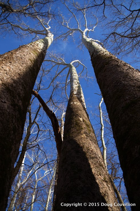 photograph of white sycamore trees stretching up into the blue sky