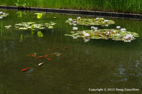 HDR photograph of goldfish and water lilies at the Virginia Museum Of Fine Arts