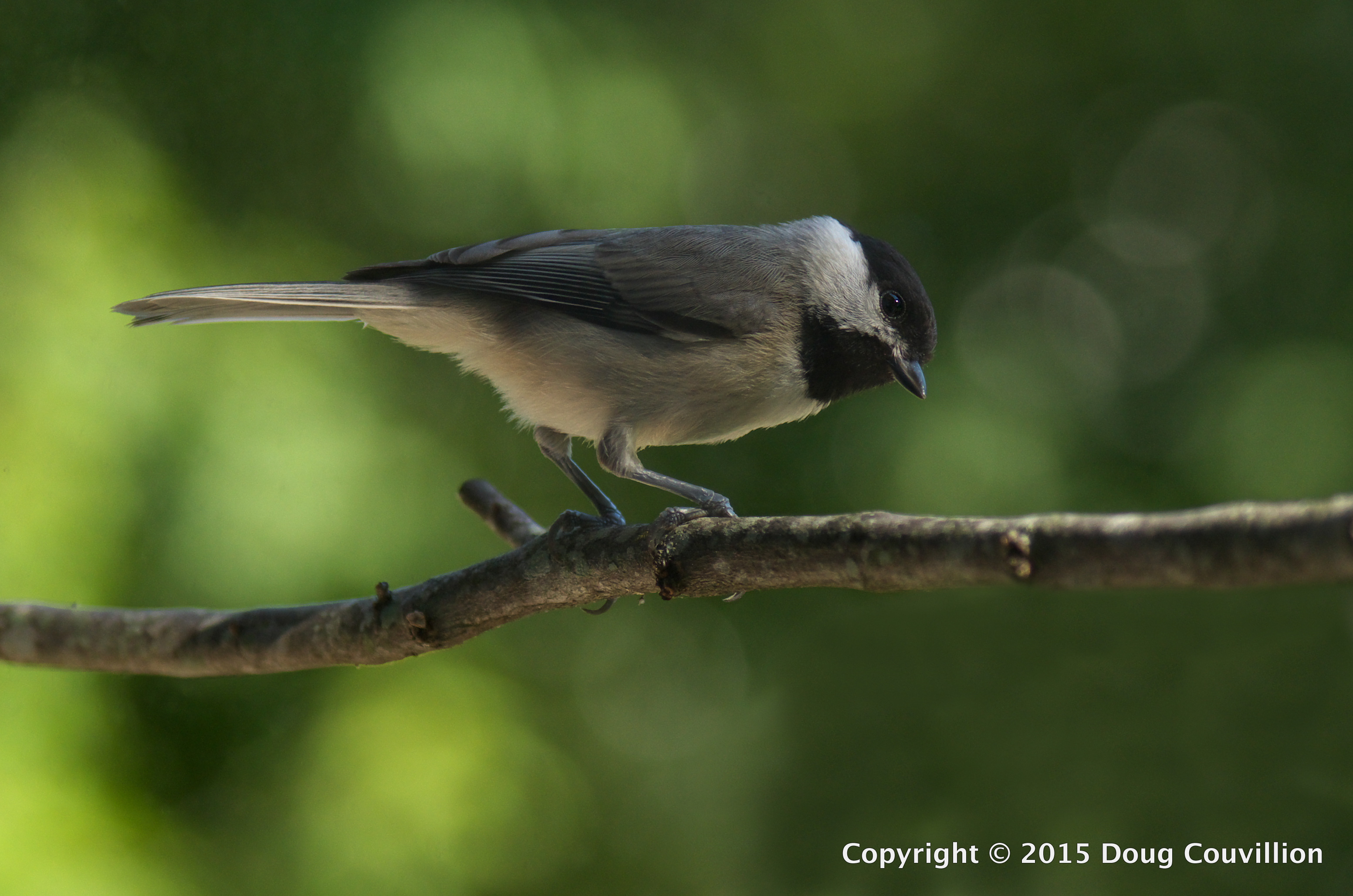 photograph of a Carolina Chickadee on a branch