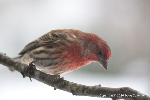photograph of a male house finch on a snowy day