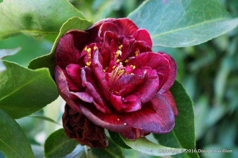 photograph of a wilting camelia flower