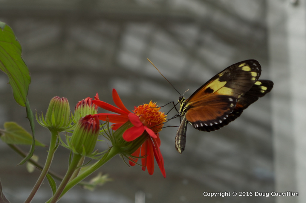 Photograph of a Tiger Longwing butterfly