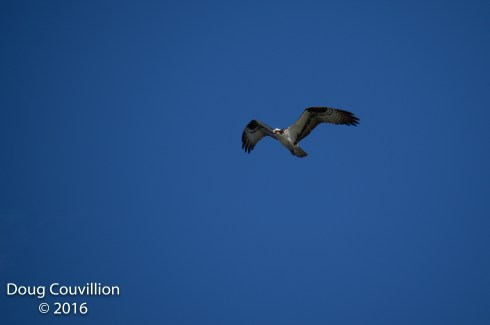 photograph of an Osprey in flight, copyright 2016 by Doug Couvillion