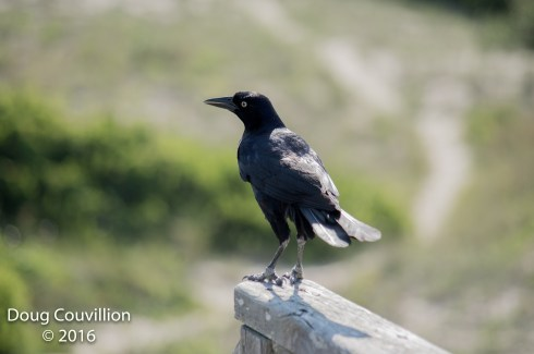 photograph of a Grackle standing on a wooden rail, copyright 2016 by Doug Couvillion