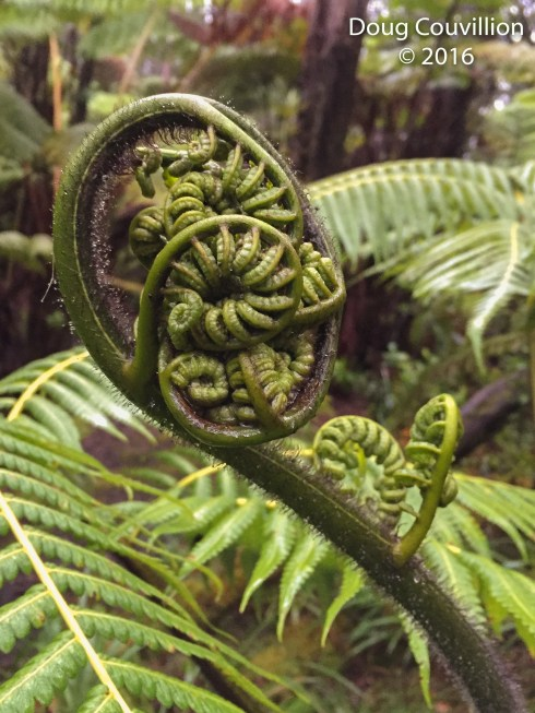 Photograph by Doug Couvillion: large fern fiddlehead in a Hawaiian tropical rainforest