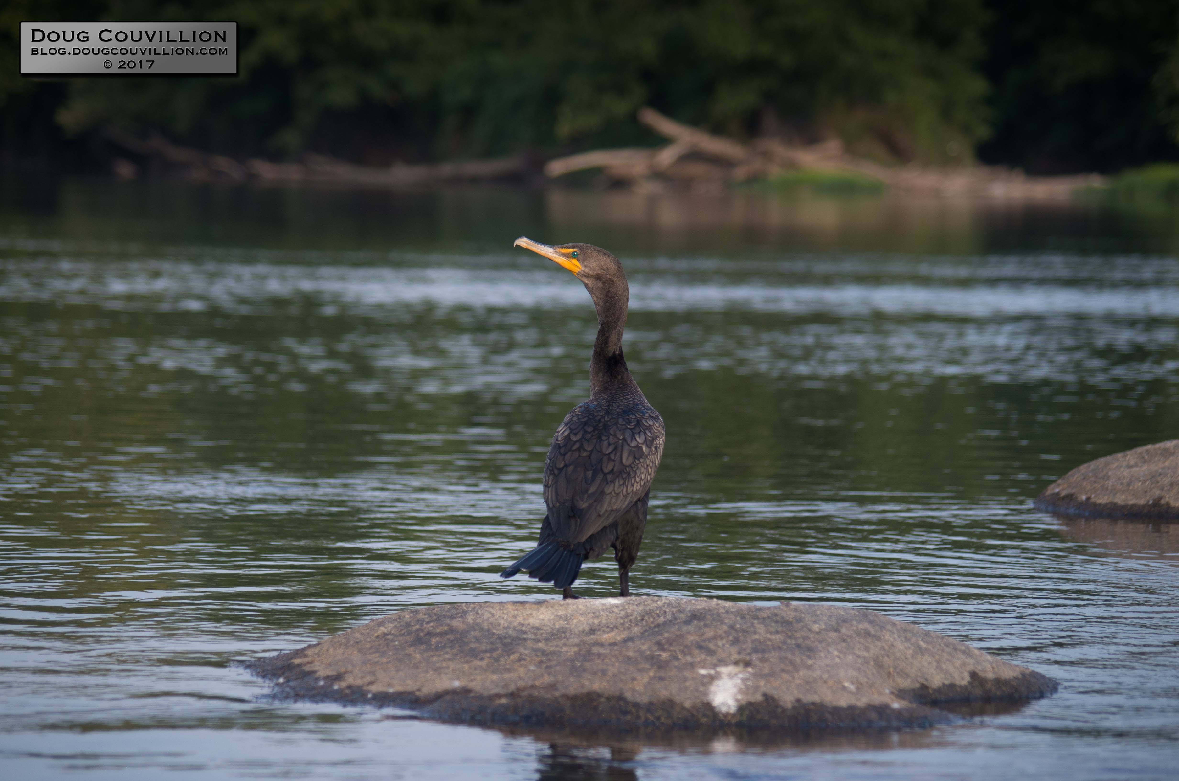 photograph of a double-crested cormorant standing on a rock in the James River by Doug Couvillion