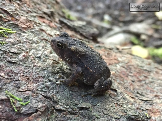 photograph of a small toad by Doug Couvillion