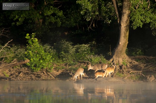 Photograph of a herd of deer drinking water from the James River at dawn by Doug Couvillion