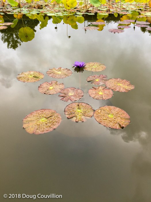 photograph of a purple water lily in a garden pond by Doug Couvillion