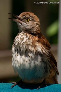 Photograph of a Brown Thrasher by Doug Couvillion