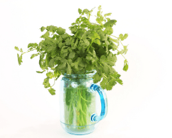 Cilantro stored in water to stay fresh