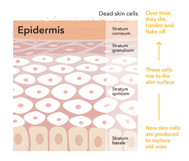 Skin is made up of three layers