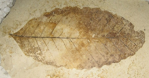 This fossil leaf is supposed to be 49 million years old.  Leaf fossils of similar supposed age have been shown to contain original leaf material.  (click for credit)