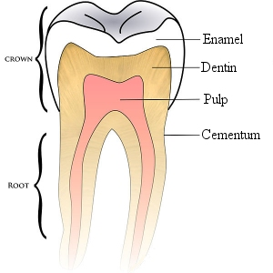 This is a simple schematic of a tooth. (click for credit)