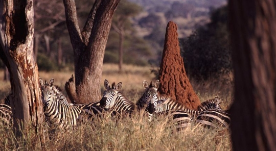 The termite mound behind those zebras makes life better for the plants and animals surrounding it.