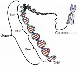 In DNA, a gene is made up of exons and introns.  The exons determine the protein that is made.