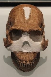 A reconstruction of Homo naledi's skull (click for credit)