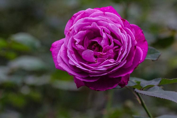arti warna mawar ungu via unsplash ala duniamasak
