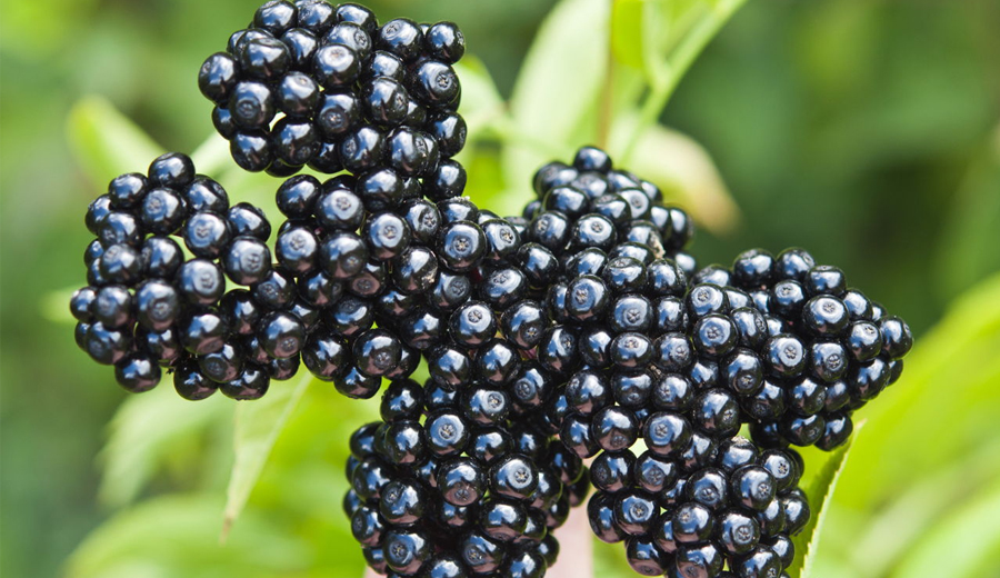 https://nutrineat.com/elderberry-side-effects