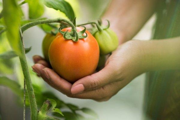 tanaman dapur tomat via freepik ala tim duniamasak.com
