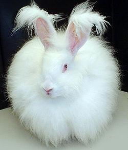 250px-Fluffy_white_bunny_rabbit