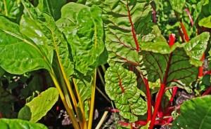 ediblelandscape-swisschard