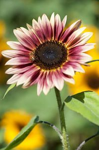 220px-Sunflower_'Strawberry_Blonde'_(3931552086)