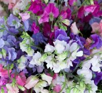 Mixed Sweet Pea Flowers