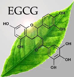 green tea extract EGCg - green tea extract EGCg