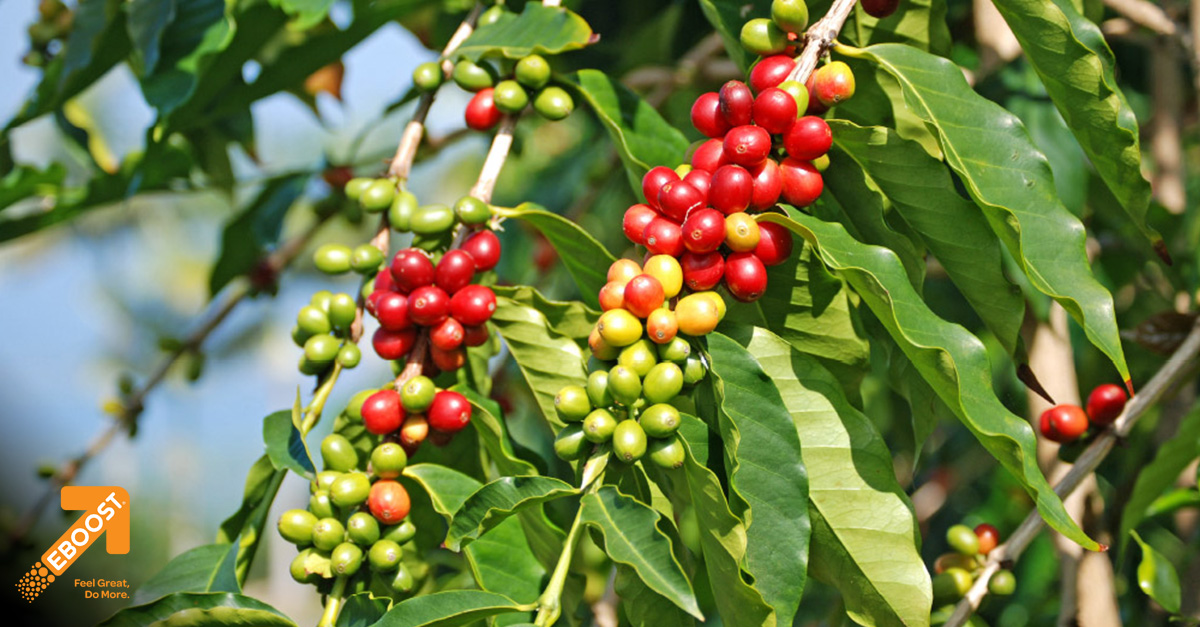 The Amazing Coffee Cherry