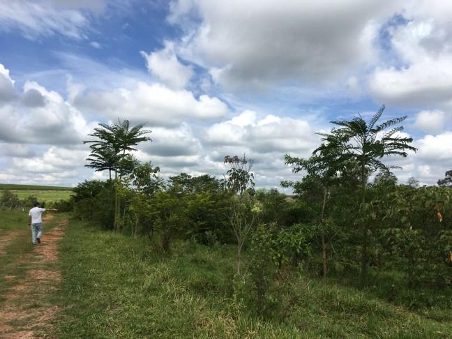 Área de reflorestamento com árvores em crescimento