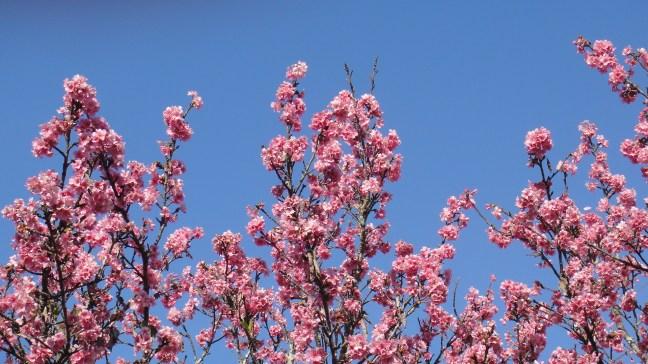 As lindas e amadas flores de Cerejeira que surgem no período do evento.